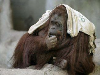 Orangutan Sandra